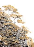 Immortal Pine Fine Art Print