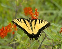 Black Yellow Butterfly I Fine Art Print