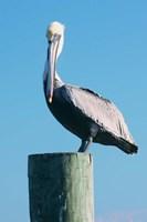 Pelican Perched II Fine Art Print