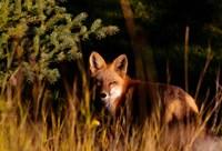 Fox Stare Fine Art Print