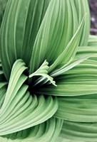 Green Leaf Blooms II Fine Art Print
