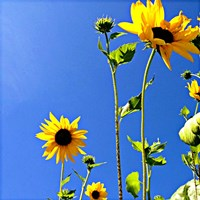 Sunflowers and Sky Fine Art Print