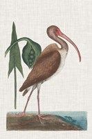 Catesby Heron V Fine Art Print