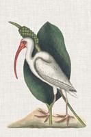 Catesby Heron VI Fine Art Print