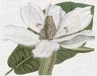 Curtis Magnolia II Framed Print