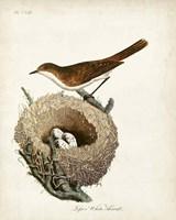 Lesser White-Throat and Nest Fine Art Print
