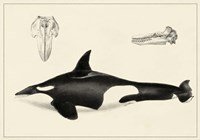 Antique Whale Study I Fine Art Print