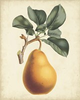Antique Pear Botanical I Fine Art Print