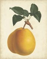 Antique Pear Botanical II Fine Art Print