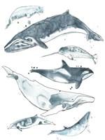 Cetacea I Framed Print