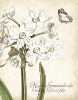 Narcissus Botanique I Fine Art Print