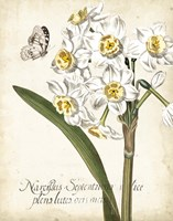 Narcissus Botanique II Fine Art Print