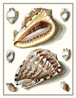 Collected Shells IV Fine Art Print