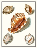 Collected Shells VII Framed Print