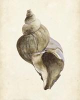 Watercolor Seashell II Framed Print
