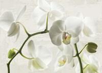 Ivory Orchids Fine Art Print