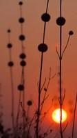 Okavango Delta, Botswana Africa Thistles At Sunset Fine Art Print