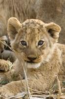 Okavango Delta, Botswana A Close-Up Of A Lion Cub Fine Art Print