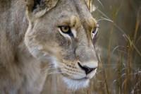 Okavango Delta, Botswana Close-Up Of A Female Lion Fine Art Print