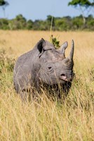 Kenya, Maasai Mara National Reserve, Black Rhinoceros Fine Art Print