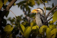 Etosha National Park, Namibia, Yellow-Billed Hornbill Perched In A Tree Fine Art Print
