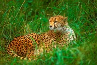 Cheetah Lying In Grass On The Serengeti Fine Art Print