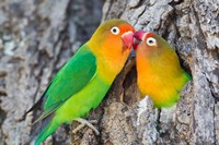 Two Fischer's Lovebirds Nuzzle Each Other, Tanzania Fine Art Print
