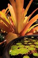 A Potted Plant, Cairns Botanic Gardens, Queensland, Australia Fine Art Print