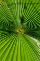 Pattern On Palm Leaf, Cairns Botanic Gardens, Queensland, Australia Fine Art Print