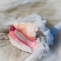 Bahamas, Little Exuma Island Conch Shell In Surf Fine Art Print