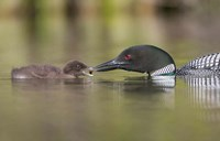 Canada, British Columbia A Common Loon & Chick At Lac Le Jeune Fine Art Print