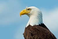 A Bald Eagle At Bowron Lake In Bowron Lake Provincial Park, BC Fine Art Print