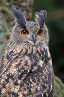 Czech Republic, Liberec Eagle Owl Falconry Show Fine Art Print