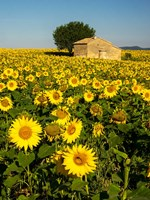 France, Provence, Old Farm House In Field Of Sunflowers Fine Art Print