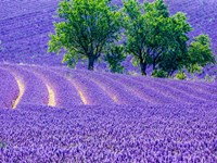 France, Provence, Lavender Field On The Valensole Plateau Fine Art Print