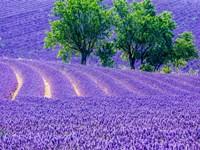 France, Provence, Lavender Field On The Valensole Plateau Fine Art Print