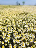 Chamomile Field (Matricaria Chamomilla), Hortobagy National Park In Spring Hungary Fine Art Print
