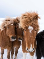 Icelandic Horses With Typical Thick Shaggy Winter Coat, Iceland 12 Fine Art Print