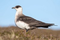 Arctic Skua Great Britain, Scotland, Shetland Islands Fine Art Print