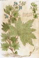 Aconitum Seventeenth-Century Engraving In Bibliotheca Pharmaceutica-Medica Fine Art Print