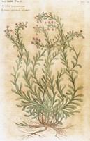 Ageratum Seventeenth-Century Engraving In Bibliotheca Pharmaceutica-Medica Fine Art Print