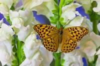 European Silver-Washed Fritillary Butterfly On Snapdragon Flower Fine Art Print