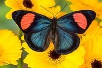Painted Beauty Butterfly From The Amazon Region Fine Art Print