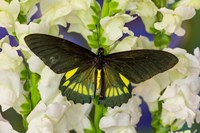 Belus Swallowtail Butterfly On White And Yellow Snapdragon Flower Fine Art Print