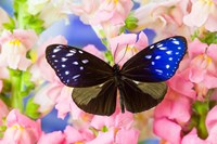 Butterfly The Striped Blue Crow Fine Art Print