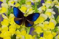 Blue Crow Butterfly Fine Art Print