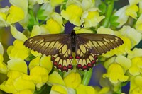 Butterfly Eurytides Corethus In The Papilionidae Family Fine Art Print