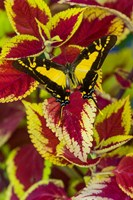Orange Kite Swallowtail Butterfly Fine Art Print