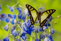 Glassy Bluebottle Butterfly Fine Art Print