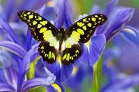 Electric Green Swallowtail Butterfly Fine Art Print